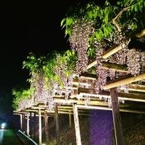 平和山公園「藤棚」 ライトアップ鑑賞会