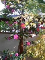 坪庭に咲く山茶花