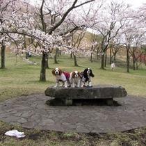 【ワンちゃん達】桜の里でお花見です♪