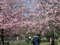 伊豆高原のおおかん桜♪