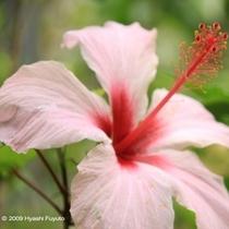 植物④ハイビスカス