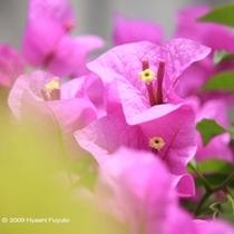 植物③ブーゲンビリア
