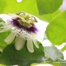 植物⑤パッションフルーツの花