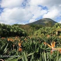 ストレチア畑と八丈富士