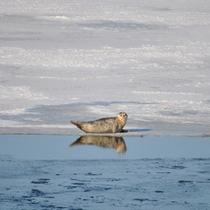 網走湖のアザラシ