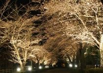 北桜通りの桜ライトアップ