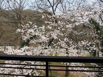 客室からの桜