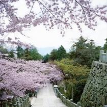 金毘羅さん桜②
