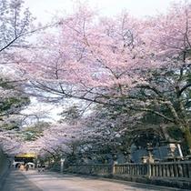 金毘羅さん桜