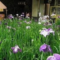 6月 『花菖蒲展』
