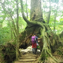 屋久杉への登山道