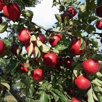 【松井農園】リンゴ狩りが楽しめるのも・・・12月上旬までの予定です♪