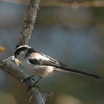 【軽井沢野鳥の森】ドーミーから車で約3分。冬は野鳥観察にぴったり♪(写真はエナガ)