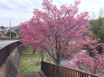 おかめお桜