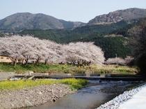 那賀川沿いの桜並木