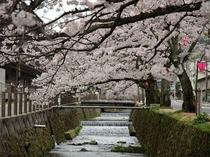 城崎は桜の名所でもあります。 4月上旬~中旬が見頃