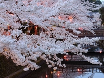 桜並木の美しいお勧めエリアは、木屋町通りからの大谿川沿いに上流側