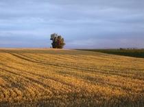 【夏】ポプラと黄金色の小麦畑