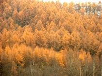 【秋】カラマツの紅葉・山