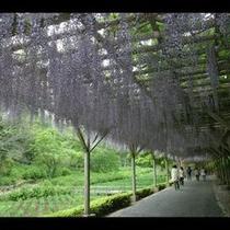 虹の郷にある藤の花