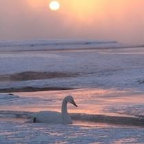 12月初旬から3月中旬は白鳥飛来の時期。冬の風物詩として親しまれています。