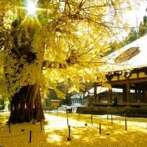 【秋】長床の大イチョウ