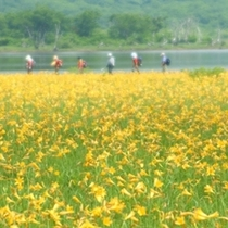 【初夏】黄色い絨毯に比喩される、雄国沼のニッコウキスゲ