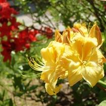 【6月上旬】ホテル玄関前に咲くキレンゲツツジ