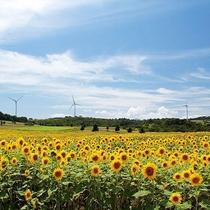 【8月中下旬】一面に咲くひまわりと風車(郡山市-布引風の高原・ホテルより車で約95分)