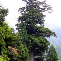 【箒杉】国指定の天然記念物