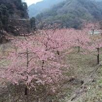 【春の景色】大自然の中にある桜も見応えがあります。
