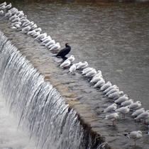 高野川のゆりかもめ