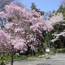 【景色】春になるとしだれ桜が綺麗な姿を魅せてくれます。