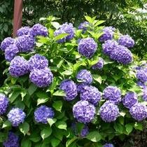 ■木陰の広場紫陽花