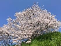 満開の桜Ⅱ