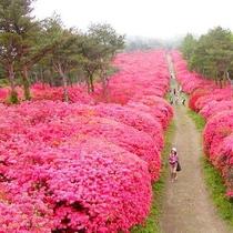 【徳仙丈山】人の背丈の2倍ほどもあるツツジの間を散策できます『気仙沼コース』