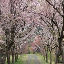 昭和の森の桜