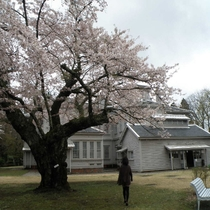 天鏡閣の桜