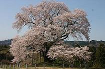 戸津辺の桜【矢祭町内】