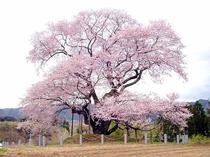 矢祭町にある戸津辺の桜【エドヒガン】樹齢600年
