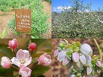 りんごの花2