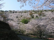 花立公園の桜