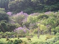 ジャカランダの森