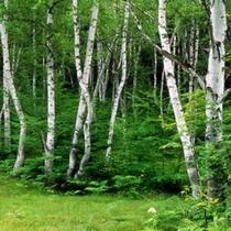 一の瀬園地 白樺林