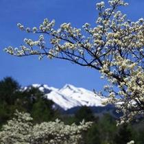 残雪の乗鞍岳と満開のすももの白い花 5月