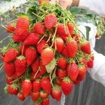 ■喬木村でイチゴ狩り♪真っ赤ないちごが美味しそう~♪