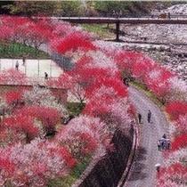 ■月川花桃