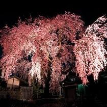 ■黄梅院の桜
