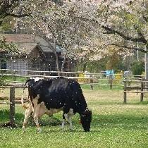 上丸牛舎の牛と桜