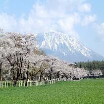 小岩井農場県道桜並木